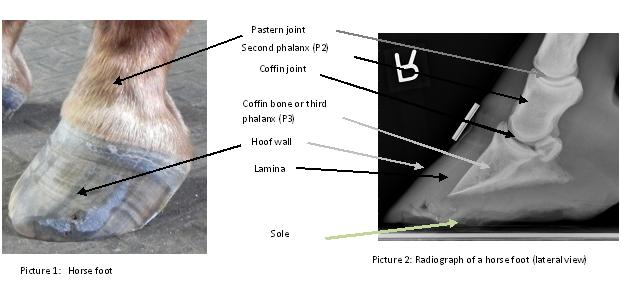 Laminitis Treatment In Ocala Fl Performance Equine